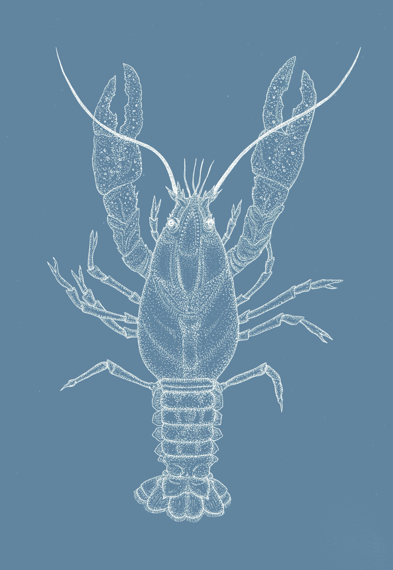 White-clawed crayfish on blue